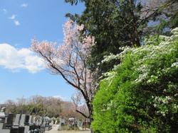 菊名墓地の彼岸桜