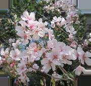 菊名墓地の彼岸桜アップ