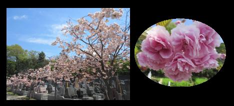 菊名墓地の八重桜